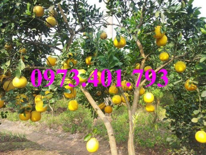 Giống cây bưởi diễn ( cây choai ), bưởi diễn, cây bưởi diễn, cây bưởi, kĩ thuật trồng bưởi16