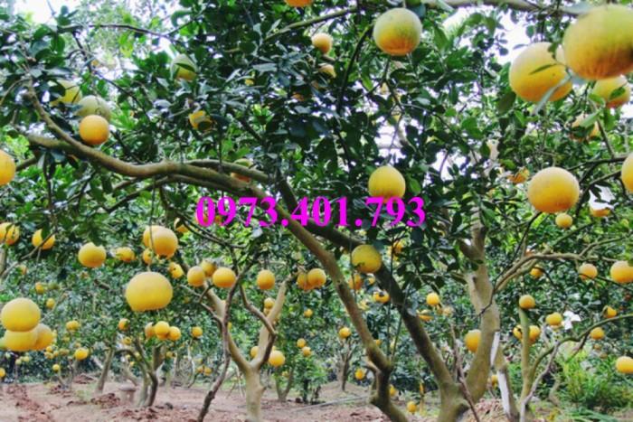 Giống cây bưởi diễn ( cây choai ), bưởi diễn, cây bưởi diễn, cây bưởi, kĩ thuật trồng bưởi17