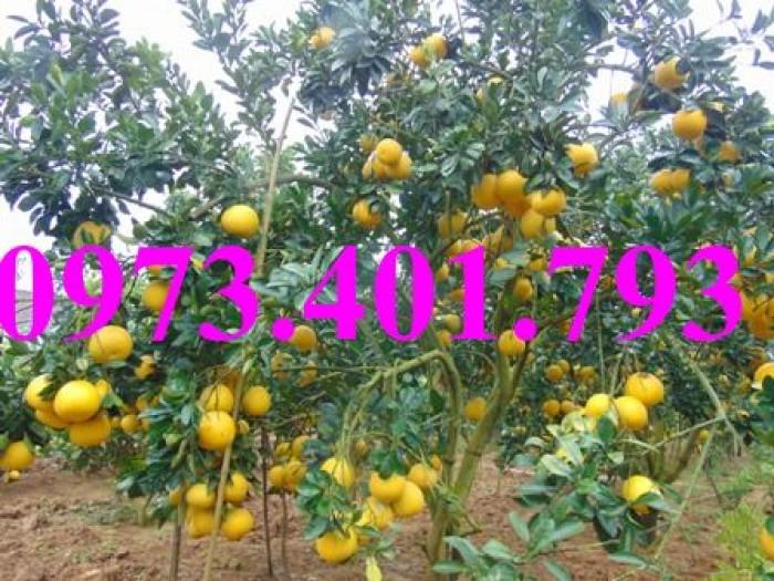 Giống cây bưởi diễn ( cây choai ), bưởi diễn, cây bưởi diễn, cây bưởi, kĩ thuật trồng bưởi18