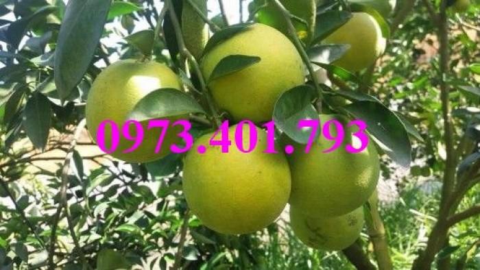 Giống cây cam xoàn, cam xoàn, cây cam, cây cam xoàn, kĩ thuật trồng cam xoàn10
