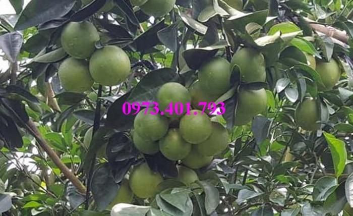 Giống cây cam xoàn, cam xoàn, cây cam, cây cam xoàn, kĩ thuật trồng cam xoàn11