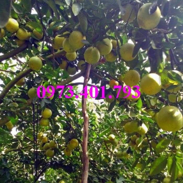 Giống cây cam xoàn, cam xoàn, cây cam, cây cam xoàn, kĩ thuật trồng cam xoàn12
