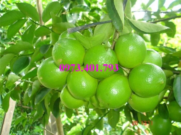 Cây giống chanh không hạt, cây chanh không hạt, cây chanh, kĩ thuật trồng chanh, chanh không hạt5