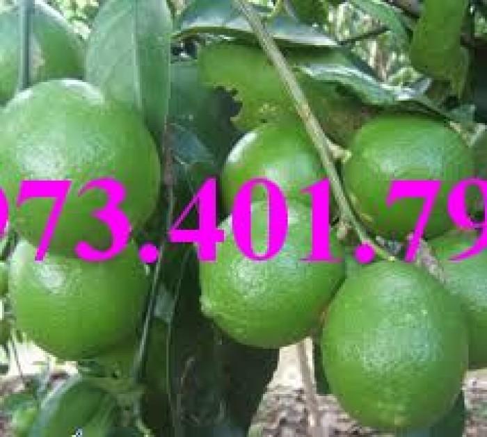Cây giống chanh không hạt, cây chanh không hạt, cây chanh, kĩ thuật trồng chanh, chanh không hạt7