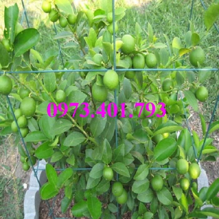 Cây giống chanh không hạt, cây chanh không hạt, cây chanh, kĩ thuật trồng chanh, chanh không hạt13