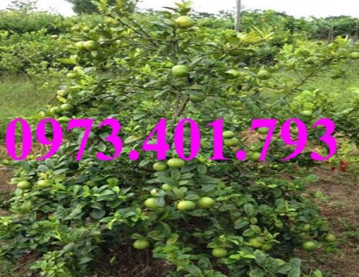 Giống cây chanh tứ quý, chanh tứ quý, cây chanh, cây chanh tứ quý, kĩ thuật trồng tứ quý10