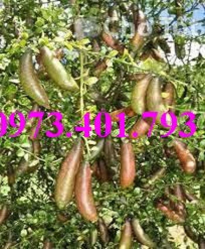 Giống cây chanh ngón tay thái lan, chanh ngón tay, cây chanh, cây chanh ngón tay6