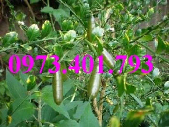 Giống cây chanh ngón tay thái lan, chanh ngón tay, cây chanh, cây chanh ngón tay5