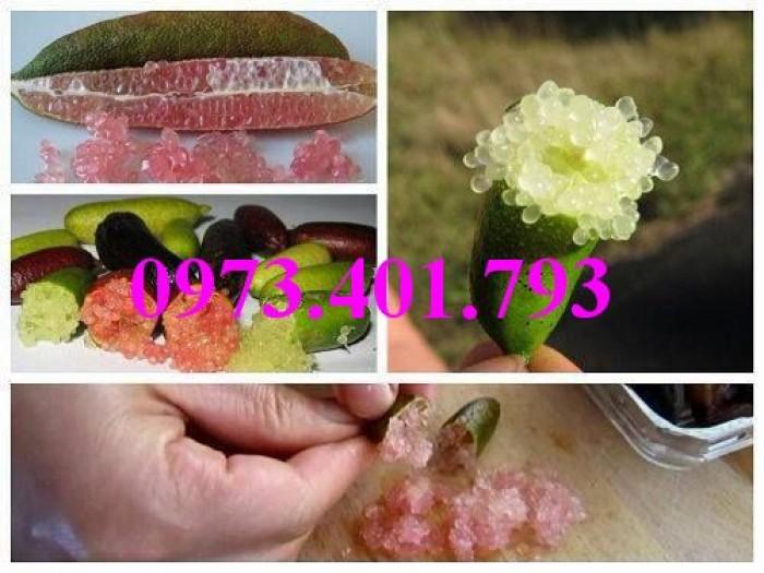 Giống cây chanh ngón tay thái lan, chanh ngón tay, cây chanh, cây chanh ngón tay12