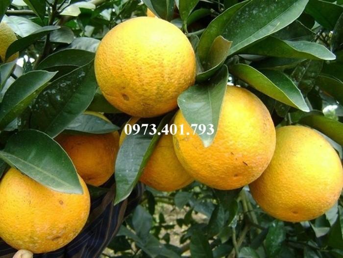Giống cây cam Vinh, cam Vinh, cây cam Vinh, cây cam, kĩ thuật trồng cây cam5
