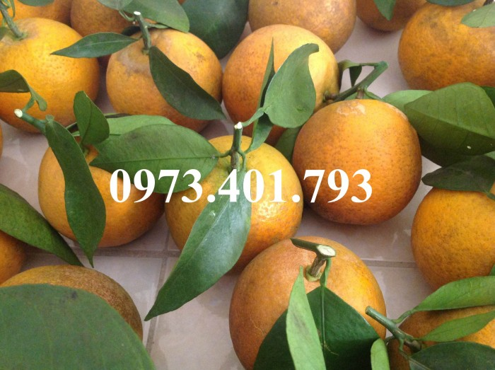 Giống cây cam Vinh, cam Vinh, cây cam Vinh, cây cam, kĩ thuật trồng cây cam6