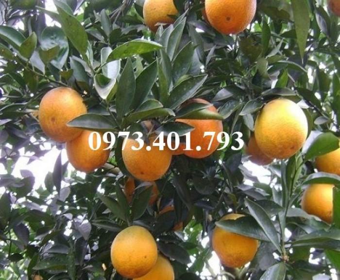 Giống cây cam Vinh, cam Vinh, cây cam Vinh, cây cam, kĩ thuật trồng cây cam11