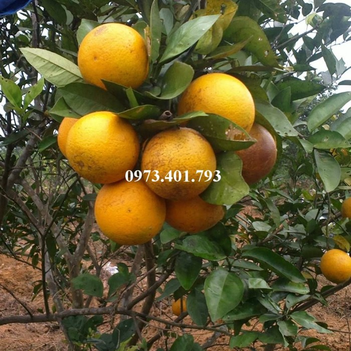 Giống cây cam Vinh, cam Vinh, cây cam Vinh, cây cam, kĩ thuật trồng cây cam12