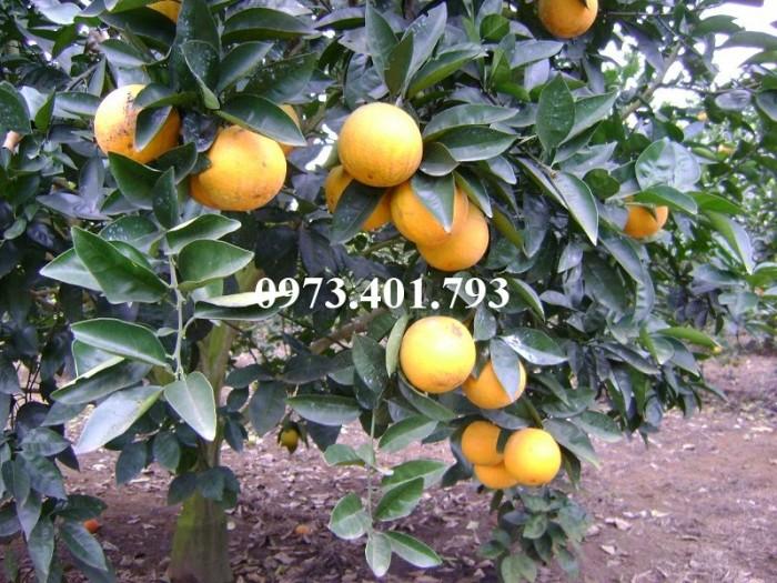 Giống cây cam Vinh, cam Vinh, cây cam Vinh, cây cam, kĩ thuật trồng cây cam13