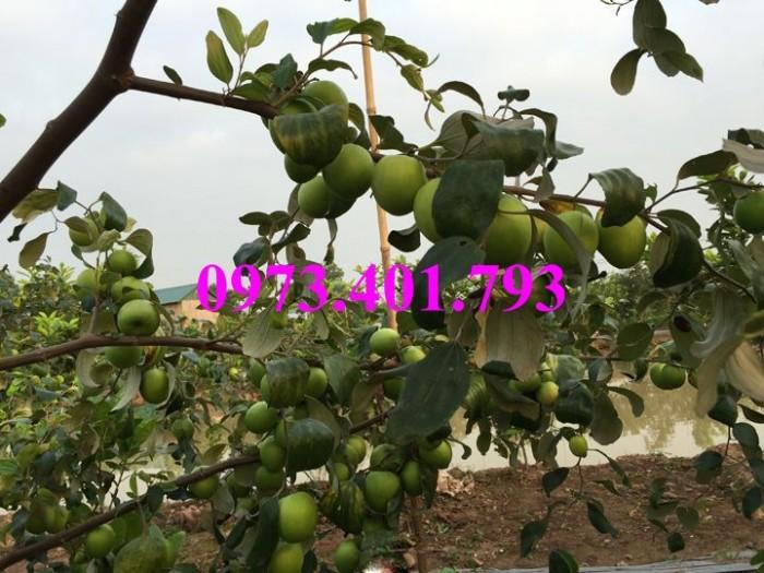 Cây giống táo Đại, táo Đại, cây táo Đại, táo, cây táo9