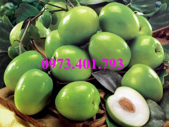 Cây giống táo Đài Loan, táo Đài Loan, cây táo, táo, cây táo Đài Loan6