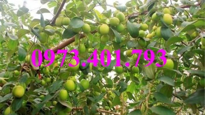 Cây giống táo Đài Loan, táo Đài Loan, cây táo, táo, cây táo Đài Loan5