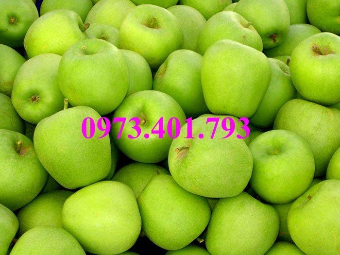 Cây giống táo Đài Loan, táo Đài Loan, cây táo, táo, cây táo Đài Loan7