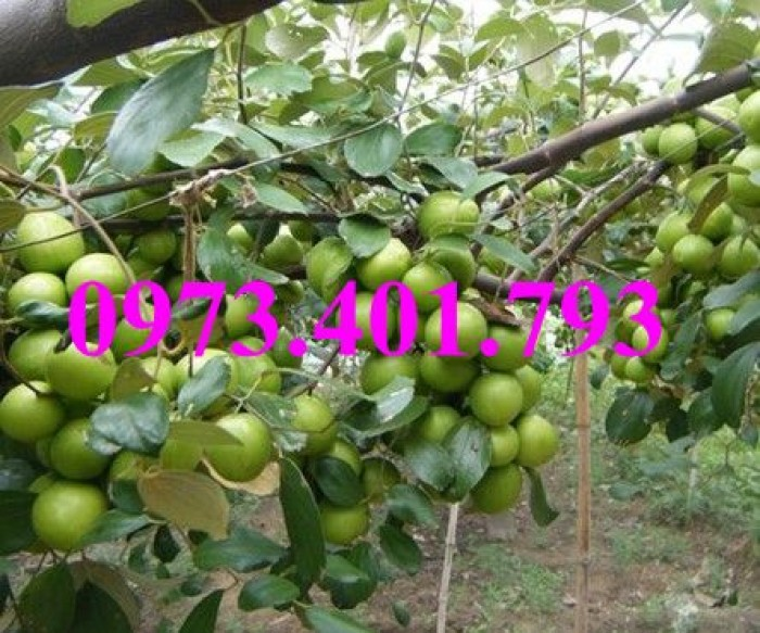 Cây giống táo Đài Loan, táo Đài Loan, cây táo, táo, cây táo Đài Loan8