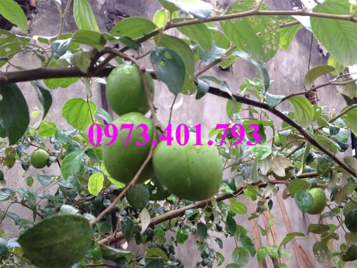 Cây giống táo Đài Loan, táo Đài Loan, cây táo, táo, cây táo Đài Loan9