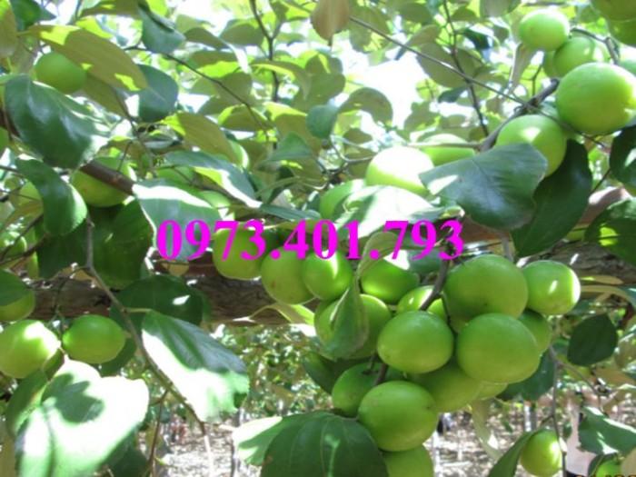 Cây giống táo Đài Loan, táo Đài Loan, cây táo, táo, cây táo Đài Loan10