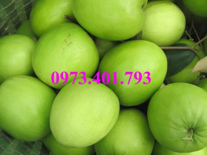Cây giống táo Đài Loan, táo Đài Loan, cây táo, táo, cây táo Đài Loan13
