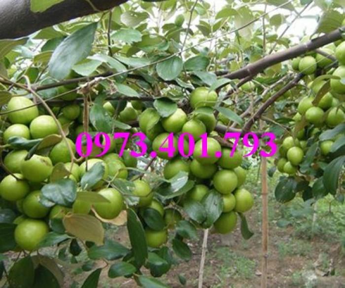 Giống cây táo chua, táo chua , cây táo chua, táo, cây táo11