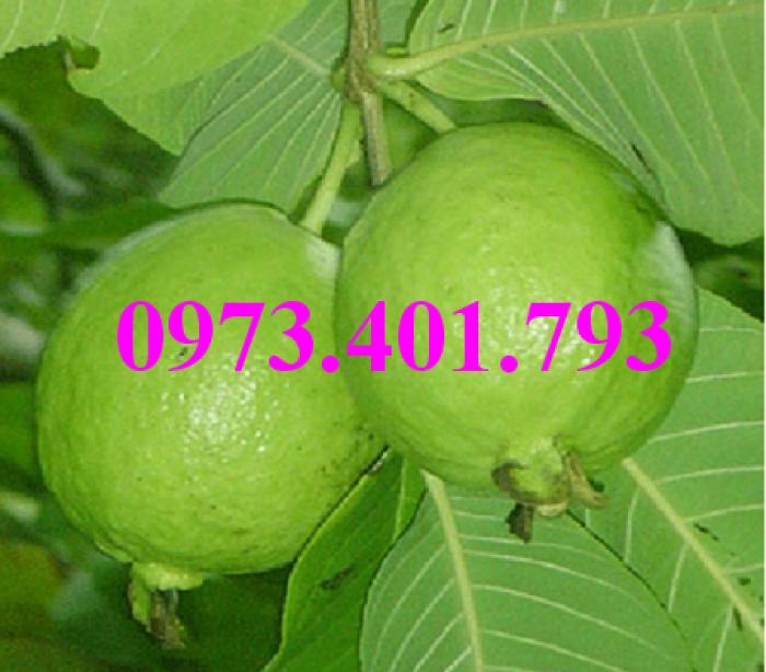 Giống cây ổi đông dư, ổi bốn mùa, ổi , cây ổi, cây ổi đông dư, cây ổi bốn mùa5
