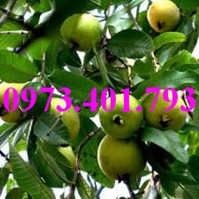 Giống cây ổi đông dư, ổi bốn mùa, ổi , cây ổi, cây ổi đông dư, cây ổi bốn mùa9