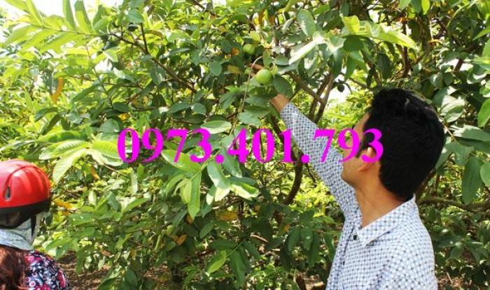 Giống cây ổi đông dư, ổi bốn mùa, ổi , cây ổi, cây ổi đông dư, cây ổi bốn mùa11