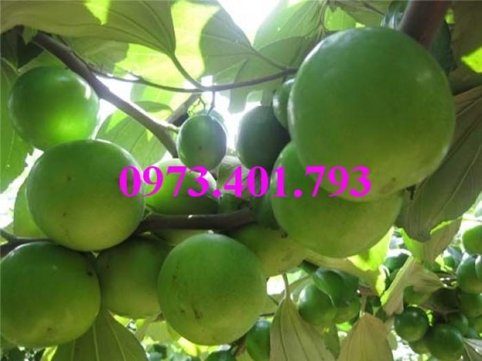 Giống cây táo Thái, cây táo Thái, cây táo, táo Thái, táo, kĩ thuật trồng táo thái8