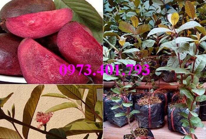 Giống cây ổi tím, ổi tím, cây ổi tím, cây ổi, ổi, kĩ thuật trồng ổi4