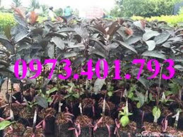 Giống cây ổi tím, ổi tím, cây ổi tím, cây ổi, ổi, kĩ thuật trồng ổi7
