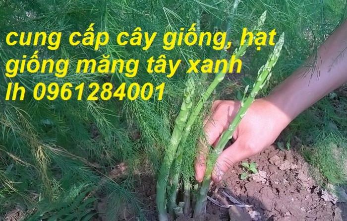 Cung cấp cây giống, hạt giống măng tây xanh, hàng loại 1, cam kết chất lượng5