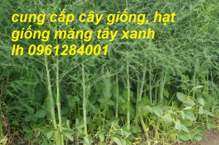 Cung cấp cây giống, hạt giống măng tây xanh, hàng loại 1, cam kết chất lượng6