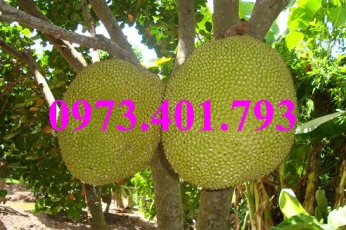 Giống cây mít không hạt, mít không hạt, cây mít không hạt, mít, cây mít11