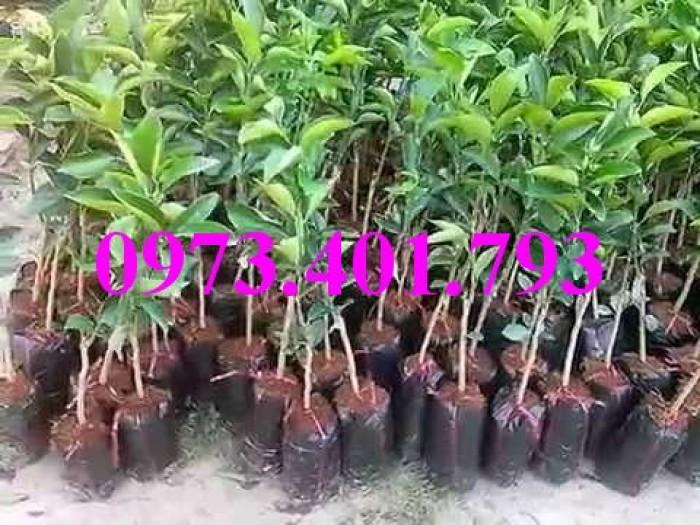 Giống cây Cam cara ruột đỏ1