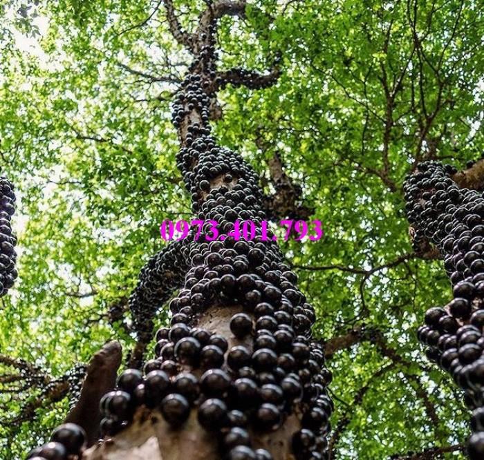 Giống cây nho thân gỗ, kĩ thuật trồng nho thân gỗ, nho thân gỗ , cây nho, cây nho thân gỗ2