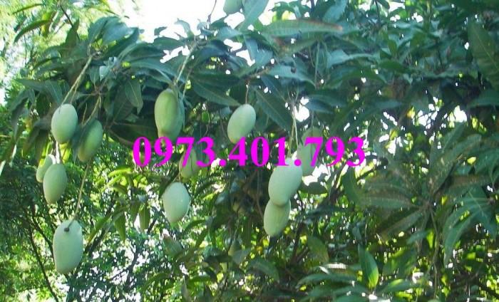 Giống cây xoài Đài Loan, cây xoài , kĩ thuật trồng xoài, cây xoài Đài Loan, xoài6