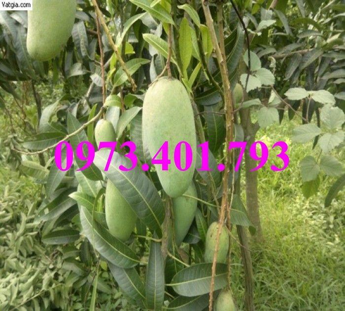 Giống cây xoài Đài Loan, cây xoài , kĩ thuật trồng xoài, cây xoài Đài Loan, xoài8