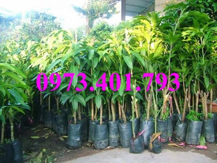 Giống cây xoài Đài Loan, cây xoài , kĩ thuật trồng xoài, cây xoài Đài Loan, xoài13