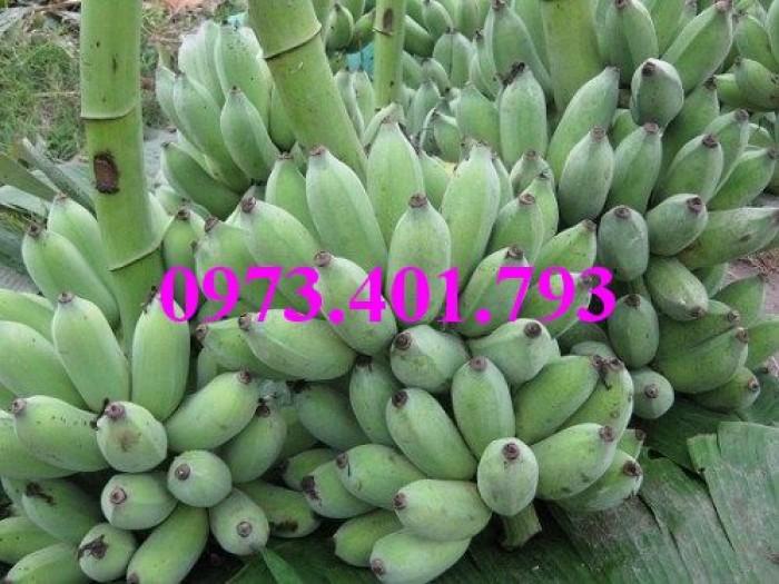 Giông cây chuối Tây Thái, cây chuối, chuối Tây Thái, cây chuối Tây Thái, chuối, kĩ thuật trồng chuối4