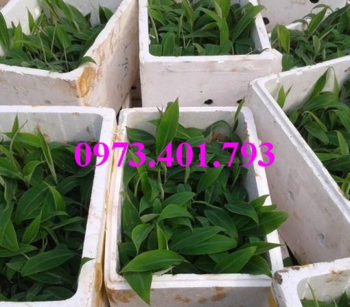 Giông cây chuối Tây Thái, cây chuối, chuối Tây Thái, cây chuối Tây Thái, chuối, kĩ thuật trồng chuối5