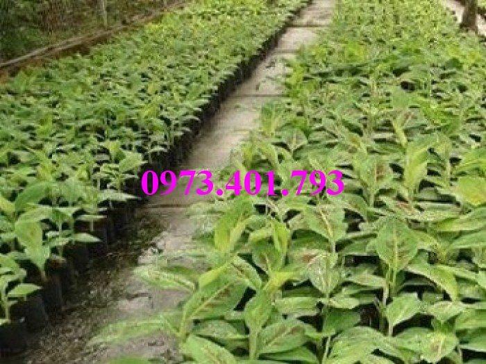 Giông cây chuối Tây Thái, cây chuối, chuối Tây Thái, cây chuối Tây Thái, chuối, kĩ thuật trồng chuối7