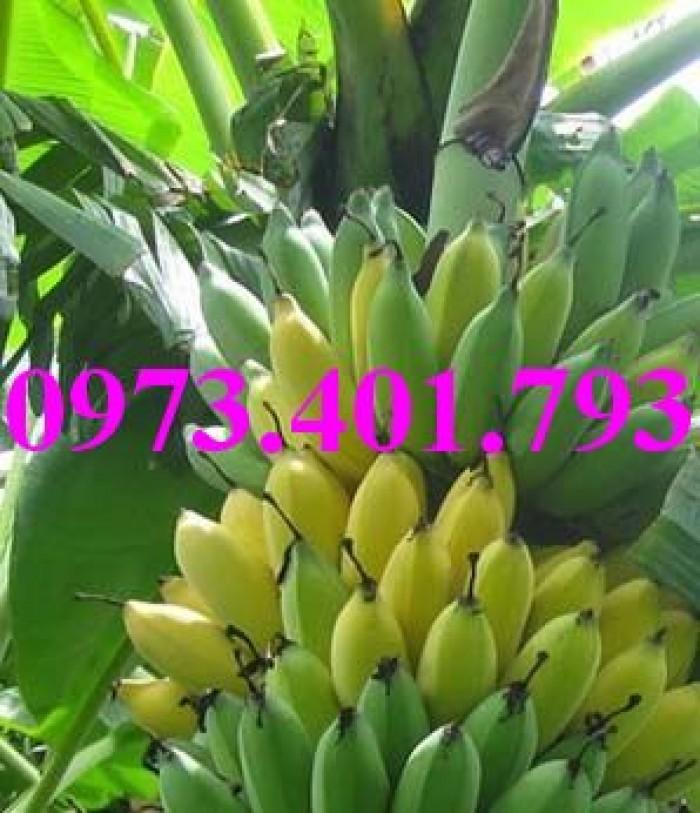 Giông cây chuối Tây Thái, cây chuối, chuối Tây Thái, cây chuối Tây Thái, chuối, kĩ thuật trồng chuối9