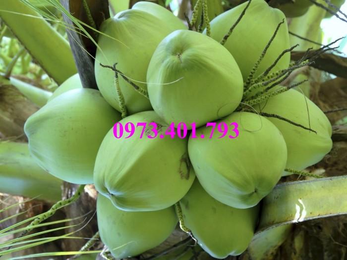 Giống cây dừa xiêm lùn xanh, dừa xiêm lùn, dừa xiêm, cây dừa xiêm lùn4
