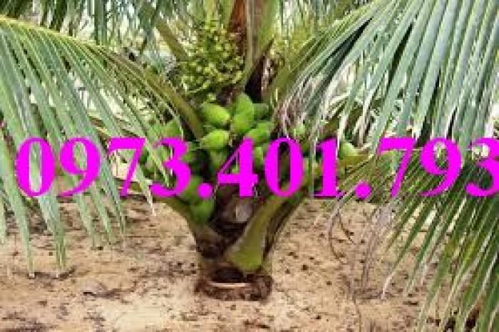 Giống cây dừa xiêm lùn xanh, dừa xiêm lùn, dừa xiêm, cây dừa xiêm lùn5