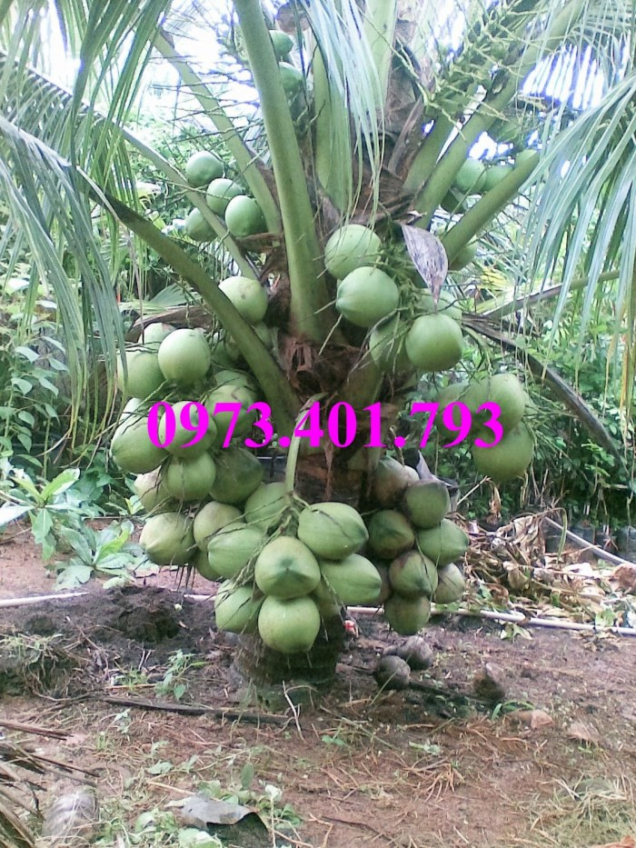 Giống cây dừa xiêm lùn xanh, dừa xiêm lùn, dừa xiêm, cây dừa xiêm lùn6