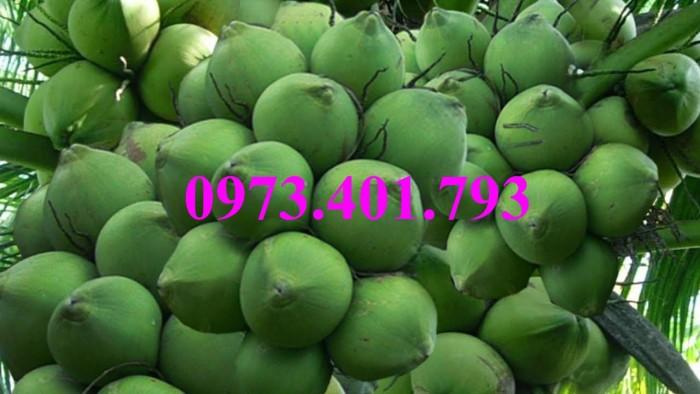 Giống cây dừa xiêm lùn xanh, dừa xiêm lùn, dừa xiêm, cây dừa xiêm lùn7