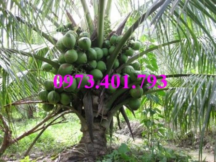 Giống cây dừa xiêm lùn xanh, dừa xiêm lùn, dừa xiêm, cây dừa xiêm lùn8